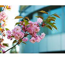 blooming plum branch Photographic Print