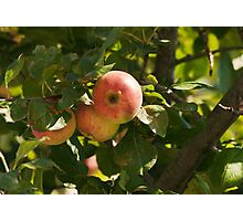 branch with three ripe apples Photographic Print