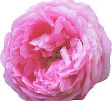 Pink peony by ghjura