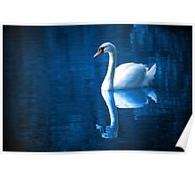Swan on blue water  Poster