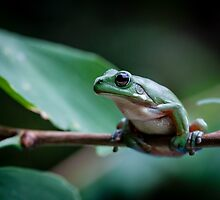 Australian green tree frog by Normf