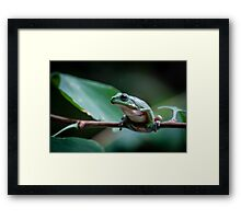 Australian green tree frog Framed Print