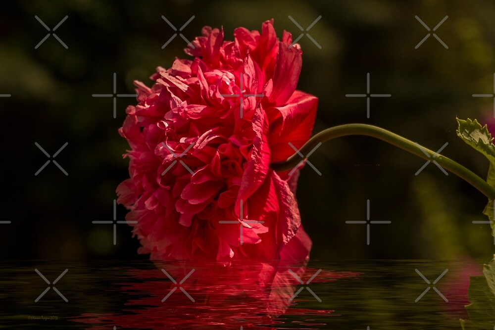 Poppy Reflections by Elaine Teague