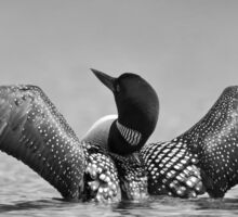 Common loon in black and white Sticker