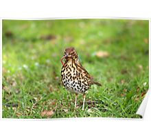 Song Thrush with earthworm II Poster
