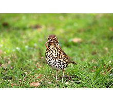 Song Thrush with earthworm II Photographic Print