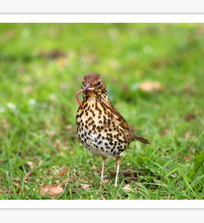 Song Thrush with earthworm II Sticker