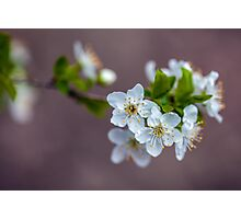 Cherry flowers Photographic Print