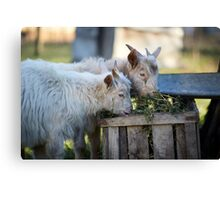 Baby goats eating hay Canvas Print