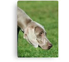 Weimaraner dog Canvas Print