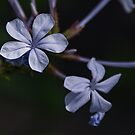 Small pale bluish flowers Leith Park Victoria 20151222 6501   by Fred Mitchell
