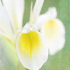 White Iris  by Lynn Starner