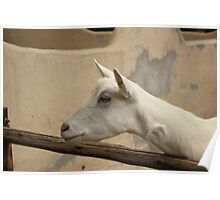 White Goat in a Pen Poster