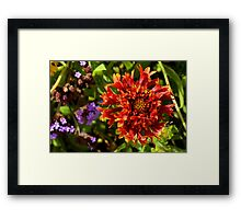 Beautiful colorful red flower in the garden. Framed Print