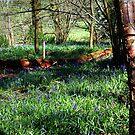 Bluebell Woods - Pamphill,Dorset by naturelover