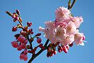 Cherry Blossom in the Blue Sky by Jo Nijenhuis