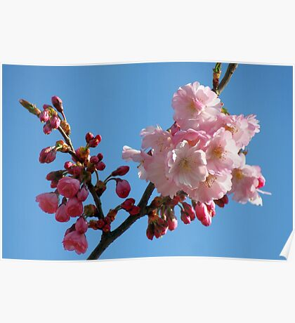 Cherry Blossom in the Blue Sky Poster