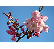 Cherry Blossom in the Blue Sky Photographic Print
