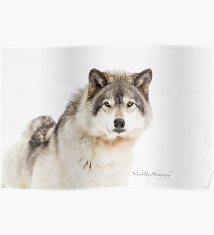 Timber Wolf in Snow Poster