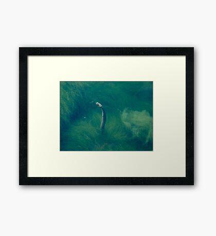 Water snake Framed Print