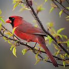 Cardinal in Spring by Bonnie T.  Barry