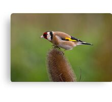 Goldfinch on Teasel Canvas Print