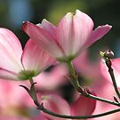 Pink Dogwood Spring Magic by AngieDavies
