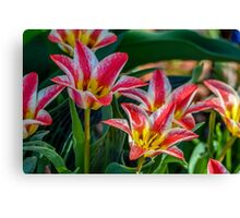 White And Pink Tulips Canvas Print