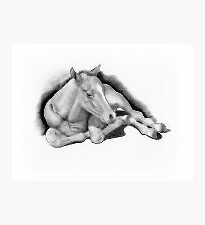 Long-legged Colt Lying Down, Pencil Drawing, Horse Photographic Print