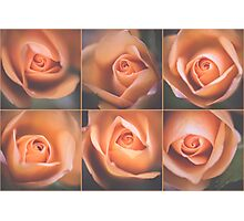 Pale roses Photographic Print