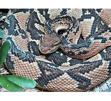 Rat Snake Photographic Print