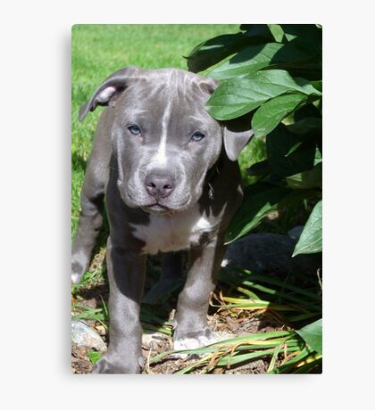 Gorgeous Baby Pit Bull Puppy Dog Canvas Print