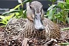 Nesting Duck, Baltimore Inner Harbour by Trish Meyer