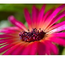 Daisy Stone in Pink - Living Community Photographic Print