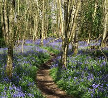 Bluebells by Caroline Anderson
