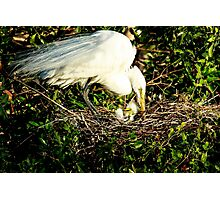 Great Egret With Chick Photographic Print
