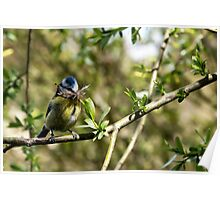 Blue Tit with nesting material 4. Poster