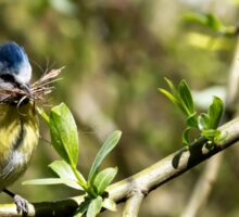 Blue Tit with nesting material 4. Sticker
