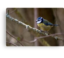 Blue Tit in a tree 3. Canvas Print