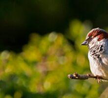 House Sparrow 1. Sticker