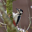 Greater Spotted Woodpecker - Dendrocopos major by Lauren Tucker