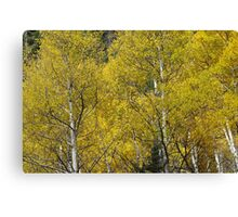 New Mexico - Red River - Aspen Trees in Fall Canvas Print