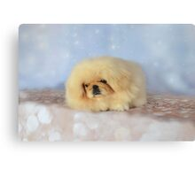 Cute cream pekingese puppy Canvas Print