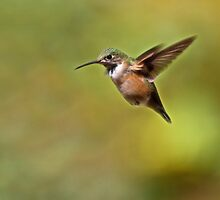 Rufous Hummingbird by Kathy Weaver