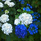 Blue and white Hydrangeas by Mary Taylor