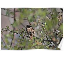 Spring sparrow Poster