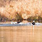 Hooded Merganser Couple Landing - Harle couronné - Parc National Mont Tremblant by Yannik Hay