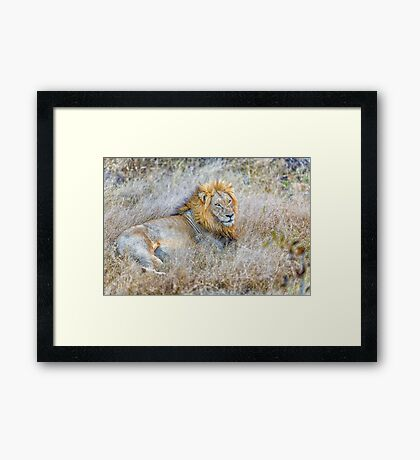 Lion, King of the Jungle Framed Print