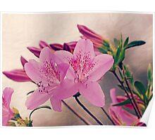 Azalea Blooms Poster