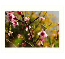 Almond tree spring blossom Art Print